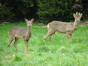 wildlife-deer-01